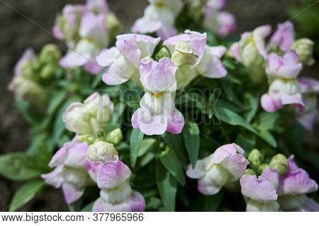 Close Up Of Beautiful White And Pink  Snapdragon Flowers (antirrhinum Majus)