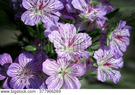 Delicate Wild Violet-blue Flowers Of Himalayan Cranesbill (geranium Himalayense). Wild Summer Forest