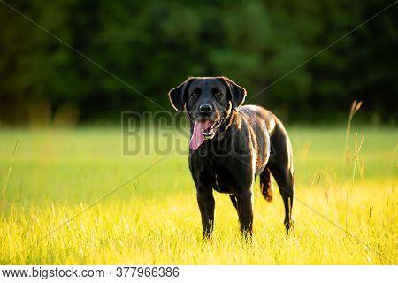 Black Labrador In A Grassy Field At Sunset Enjoying The Park