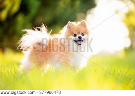 Pomeranian Adult Dog Outside On Green Grass