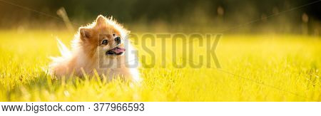 Pomeranian Adult Dog Outside On Grass Field Banner