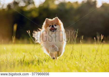 Pomeranian Adult Dog Outside Running On Grass Field