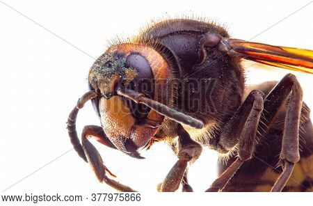 Macro Image Of A Hornet Insect On A White Background