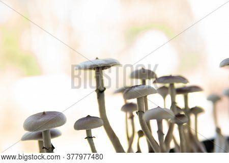 Medical Research Of Psilocybin . Fungi Hallucinogen. Fresh Psilocybin Shroom. Growing Albino A Strai