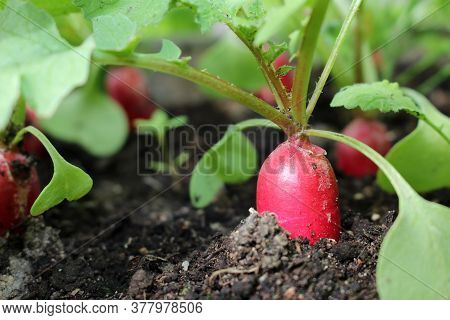 Beautiful Photo Of A Radish Growing Out Of The Ground