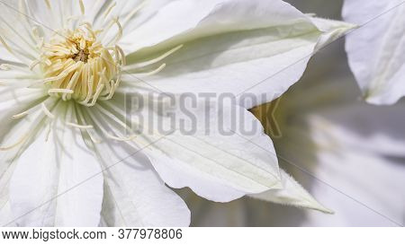 Botanical Concept, Invitation Card - Soft Focus, Abstract Floral Background, White Clematis Asagasum