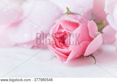 Beautiful Pink Rose With Water Drops On White Marble. Can Be Used As A Background. Romantic Style