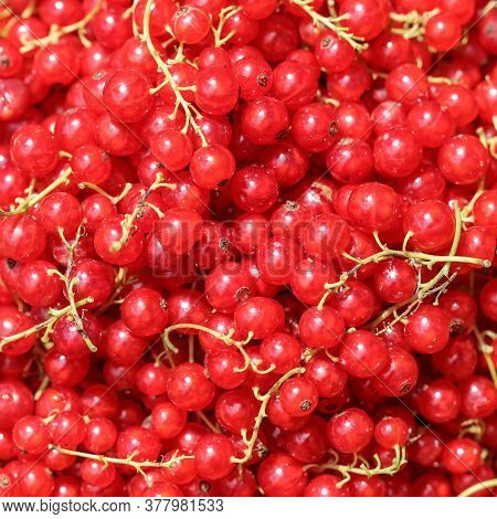 Harvesting Red Currants In The Garden. Harvest Concept.