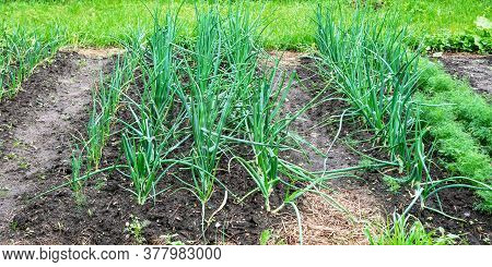 Village Vegetable Garden Beds With Hand-grown Green Onion In Fertilized Soil Against Grass On Nasty