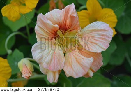 Autumn In The Flower Beds Blooming Lovely Plants - Flowers Of Nasturtium, Which Delight With Its Unu