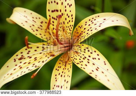 Beautiful Flower Named Tiger Lily Close Up