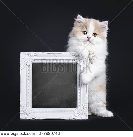 Fluffy White With Creme British Longhair Kitten, Standing Behind An Holding Up White Photo Frame Fil