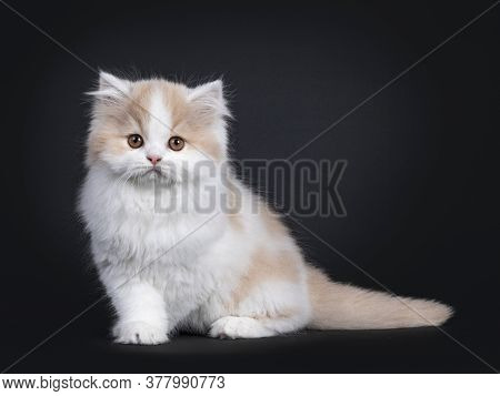 Fluffy White With Creme British Longhair Kitten, Sitting Side Ways. Looking Towards Camera With Oran