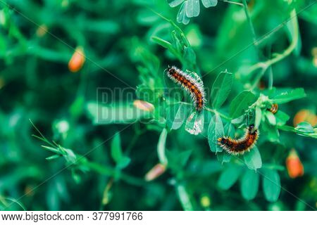 Close-up Two Hairy Orange And White Worms On Green Leaves On A Green Blurred Background. Insects In