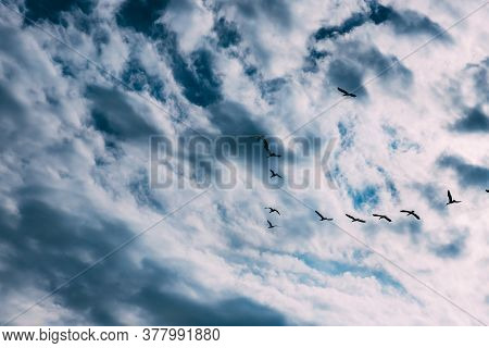 A Flock Of Geese In The Blue Sky With White Clouds. A School Of Birds Flying South. Movement In The