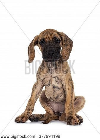 Cute Light Brindle Great Dane Pup, Sitting Unabashed Giving Full View On Private Parts. Looking At C