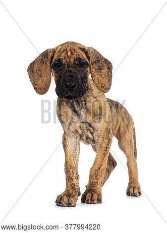 Cute Light Brindle Great Dane Pup, Standing / Walking Towards Camera. Looking At Camera With Dark Sh
