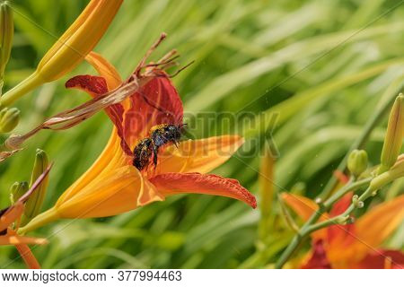 Close Up Of Xylocopa Valga Or Carpenter Bee On Blooming Day-lily Flowers Or Hemerocallis Flower In S