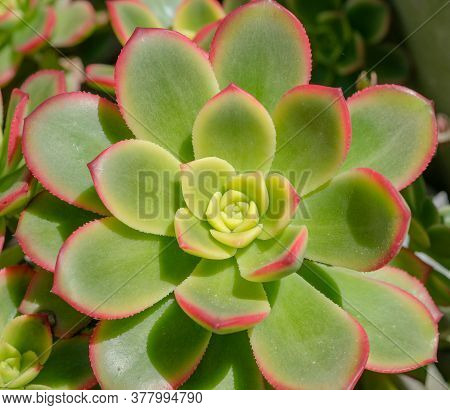 Close Up Of Beautiful Rosette Of Echeveria Pansy Purple In The Sunny Day, Beautiful Cactus On Wood B