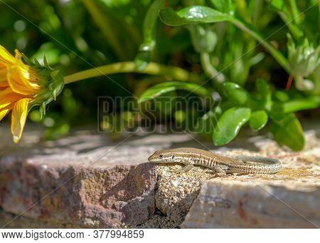 Podarcis Hispanicus, Iberian Or Catalan Wall Lizard In Natural Habitat On The Iberian Peninsula In E