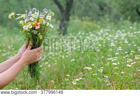 Hands Of A Young Caucasian Girl Or Woman Hold Out A Wild Flower Bouquet On Blooming Wild Flowers In