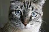 tabby cat with big blue eyes staring front poster