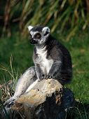 a ring-tailed lemur (Lemur catta) sitting on a rock poster