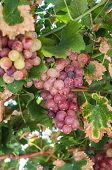 bunch of ripe red grapes of the vine leaves poster