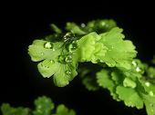 Maidenhair fern with rain drop dark background poster