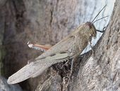 "Large Brown ""Egyptian Grasshopper"" in a tree in the mediterranean. poster"