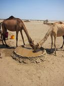two camels drink from a desert well in the Danakil depression of Ethiopia poster