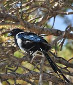 The photo shows a magpie of the Northwest mountains. The magpie is an interesting garrulous bird. The bird is medium sized and moves in flocks. poster