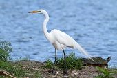 Great Egret (Ardea alba) nesting in the Florida Everglades with a turtle poster