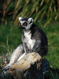 Ring-Tailed Lemur (Lemur Catta) Sitting On A Rock