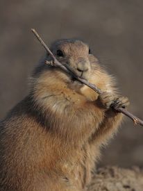 A Black Tailed Prairie Dog (Cynomys Ludovicianus) Eating Funny