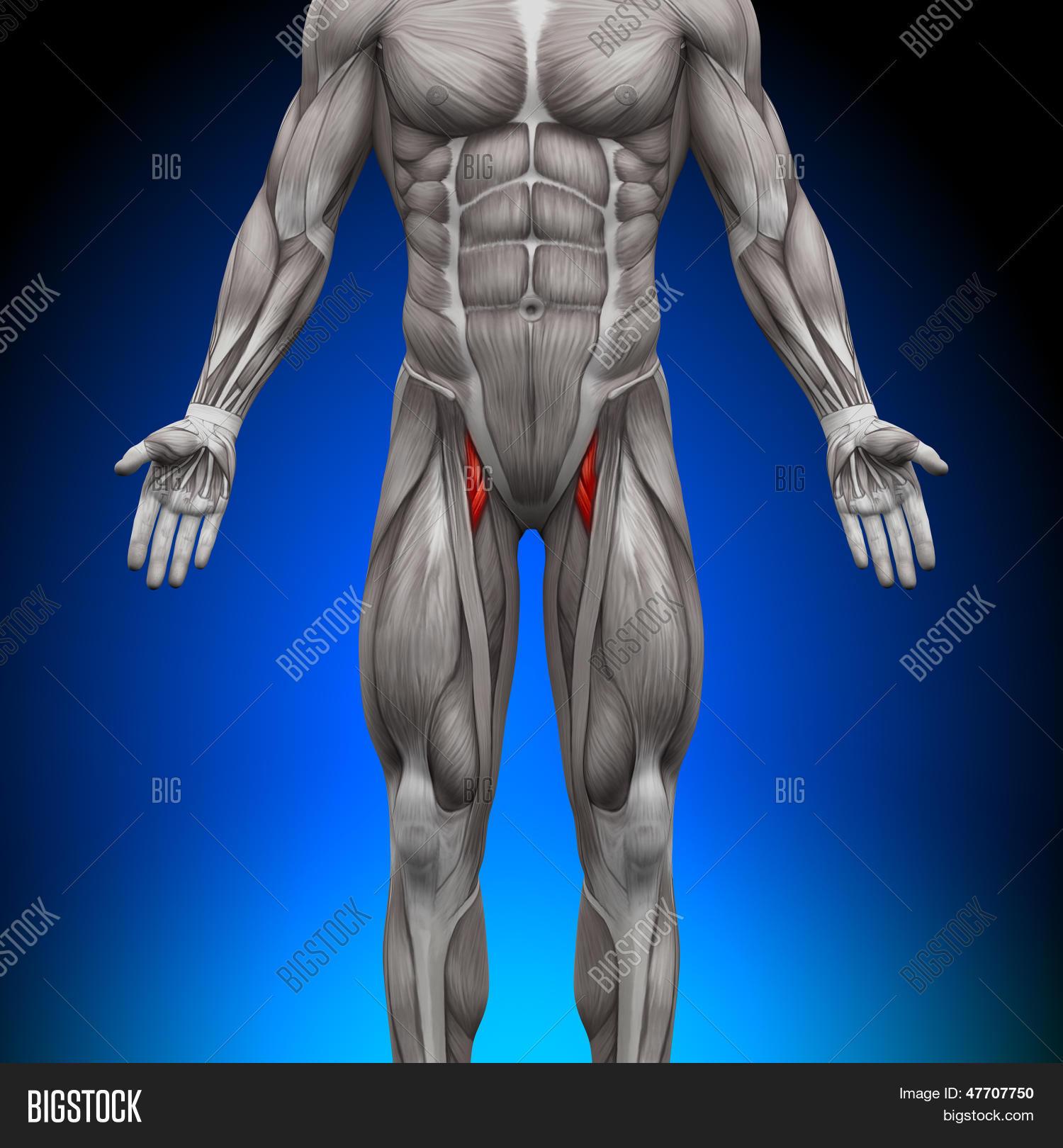 Bild und Foto: Oberschenkel - Anatomie Muskeln | Bigstock