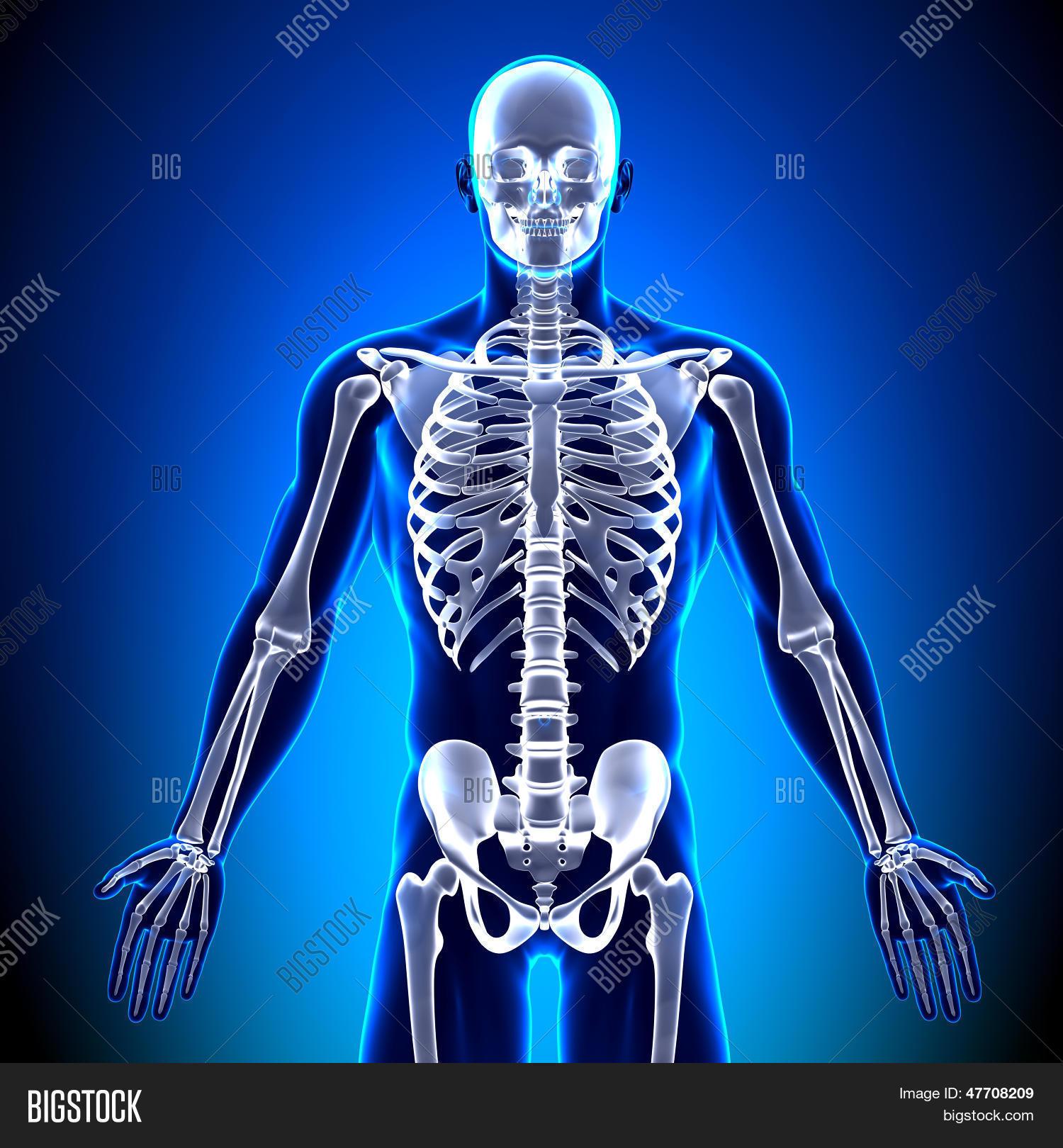 Imagen y foto Esqueleto Frente - (prueba gratis) | Bigstock