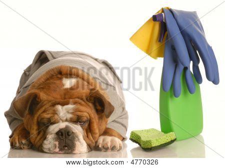 Bulldog Pouting Over Mess He Made