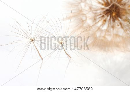 Two Fragile Pappuses Of The Salsify Flower