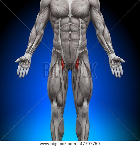 Thighs - Anatomy Muscles