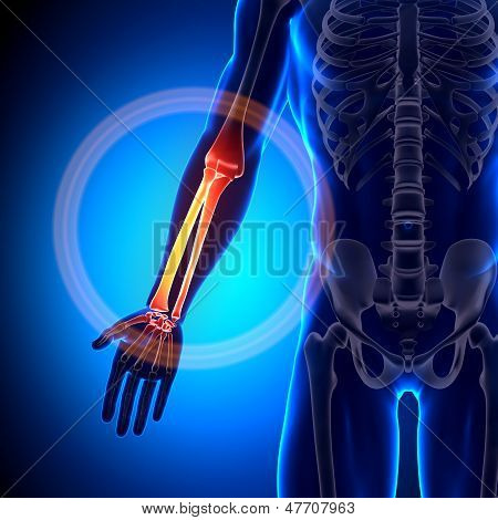 Radius / Ulna - Anatomy Bones