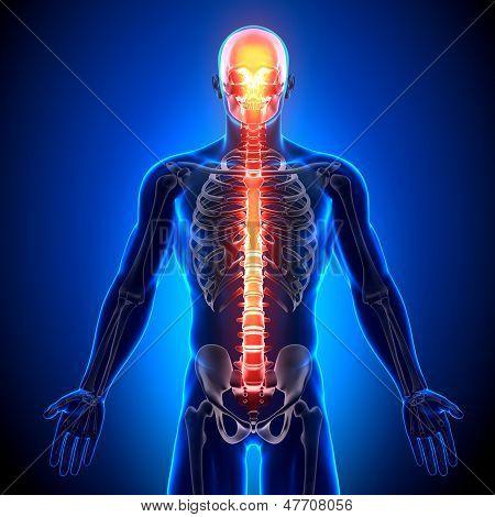 Coluna vertebral - anatomia ossos