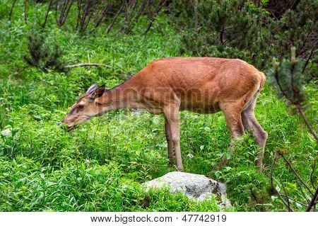Roe deer in Tatra National Park, Poland poster