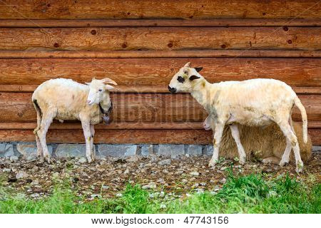 Sheep and goats under wooden hut in Tatra mountains, Poland