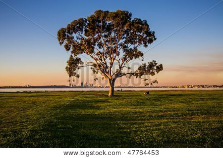 Lonely eucalyptus tree in a park
