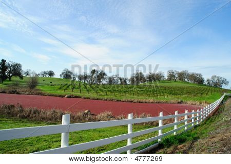 Vineyard, Grass And Pond