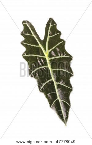 Leaf Of A Plant Alocasia