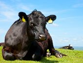 Black Aberdeen Angus cow at pasture in England poster