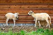 Sheep and goats under wooden hut in Tatra mountains, Poland poster