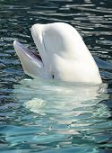 Playful beluga whale with mouth open about to feed poster